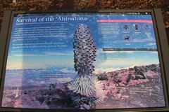 Survival of the 'Āhinahina