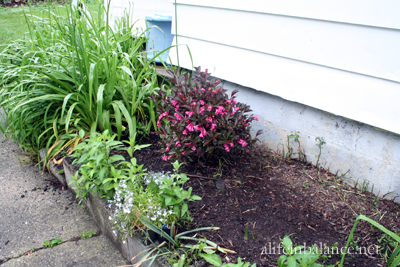 perennial bed renovation: weigla