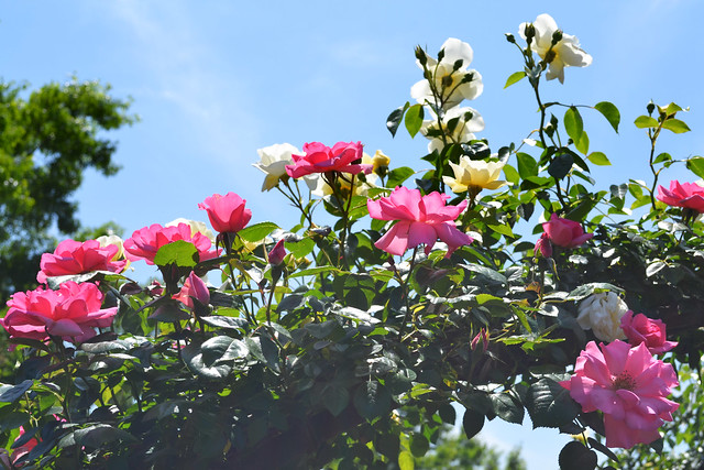 Rosa 'Bantry Bay' (pink) and R. 'City of York' (white). Photo by Jean-Marc Grambert.