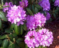 Rhododendrons in Bloom (Posterized) by randubnick