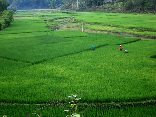 Workers in Rice Paddies