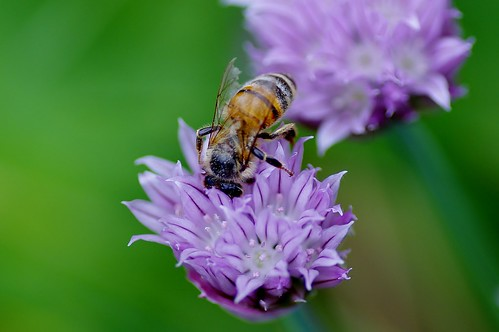Honeybee and Chives 1 by Violet Brown