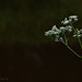 Fluitenkruid-Cow Parsley (Anthriscus sylvestris)