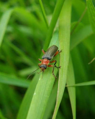 A soldier beetle?