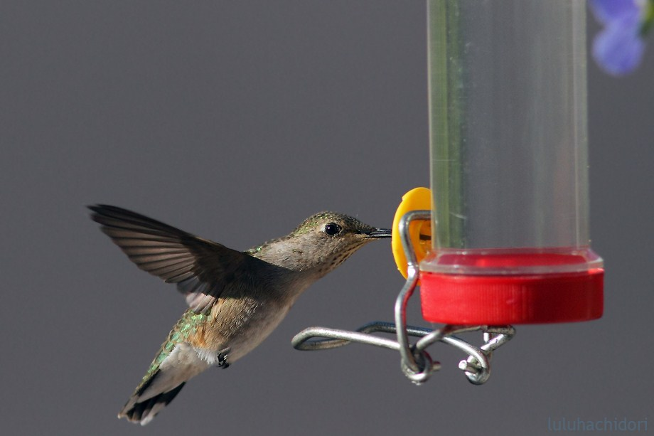 Black Chinned Hummingbird 053112