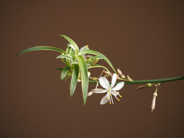 Spider plant / オリヅルラン