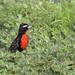 Peruvian Meadowlark (Sturnella bellicosa)