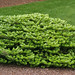 Abies koreana Green Carpet