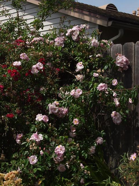 L6014014 renae roses