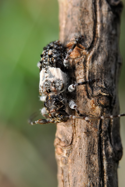 Pogonocherus fasciclatus hondoensis