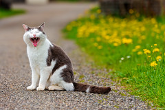 [Free Images] Animals 1, Cats, Animals - Open One's Mouth, Yawn ID:201206161000