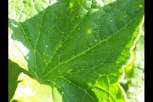 Cumber Leaf Problem B