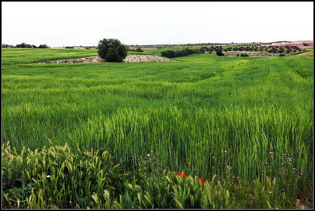 Valdemoro, campos con cereal