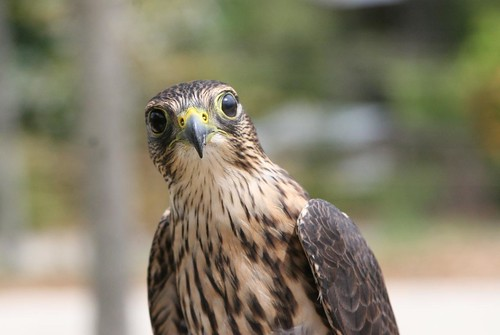 Merlin Falcon, Roswell, GA photo by DalaiMickey on Flickr
