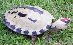 馬來西亞霹靂(Perak)呈現婚姻色的雄性鹹水龜(Batagur borneoensis)。(Doug Hendrie 攝)