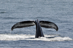 animal, marine mammal, whale, sea, marine biology, fauna,