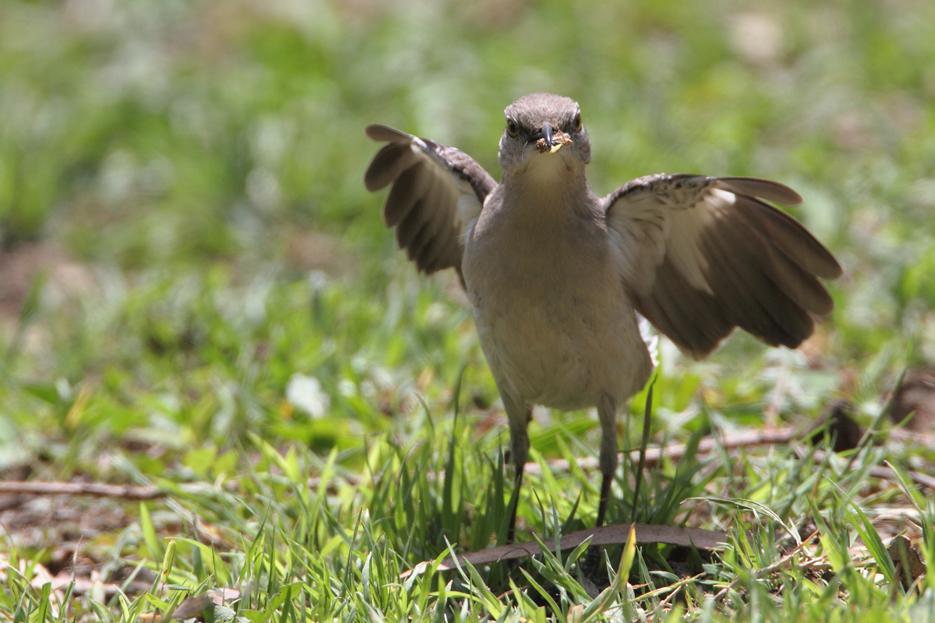 043012_bird_mockingbird