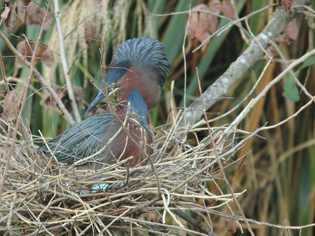 Green Heron pair exchanging incubation duty 2-20120325