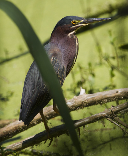 Green Heron by Ricky L. Jones Photography