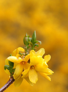 Forsythia Over Forsythia