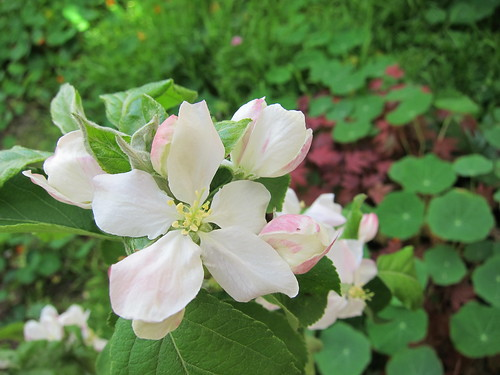 Green apple blossoms