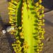 Crazy cactus at the Chauchilla historical cemetery. Nasca, Peru 14APR12