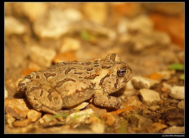 Fowler's Toad (Bufo fowleri)
