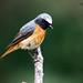 Common Redstart, Phoenicurus phoenicurus, adult male, summer.