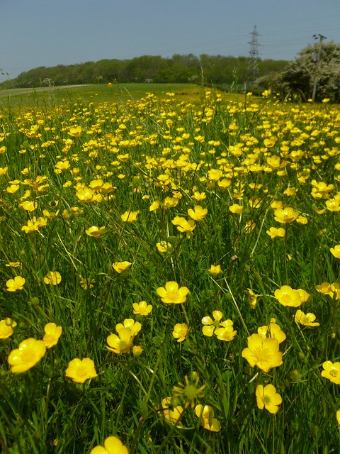 Buttercups in late May