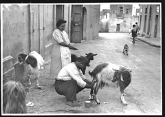 Goat herder milking goat, early 1930s Malta, maybe the location is ...