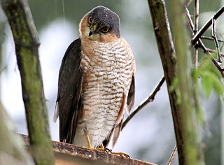 Sparrowhawk In The Rain 4