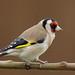 Goldfinch 4424a