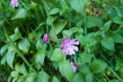 Campion flower