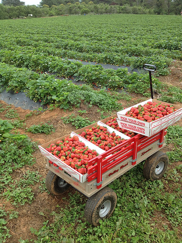 I picked a wagon full of strawberries.