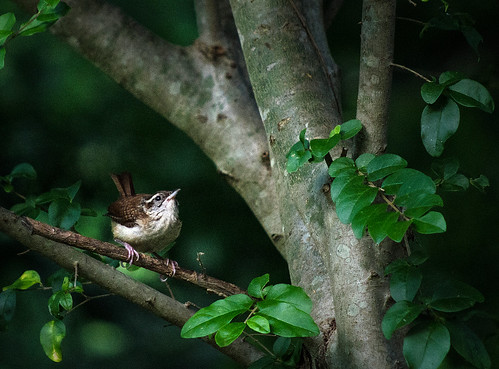 Spotlight on the Wren