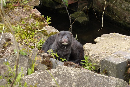 European Mink - Croome Court