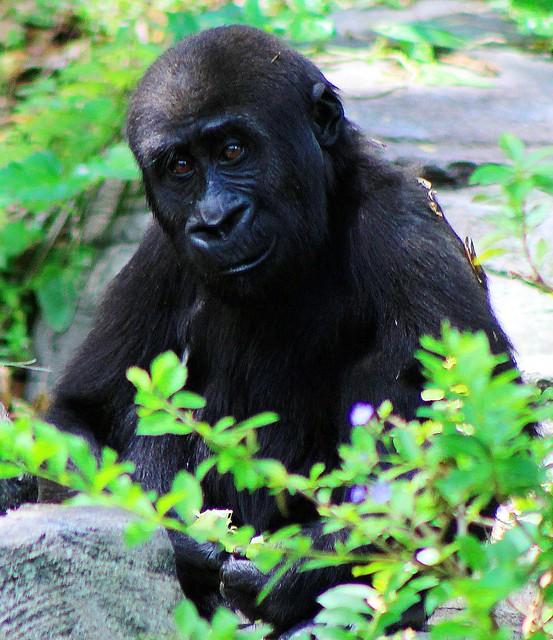 photo Newborn Silverback Gorilla