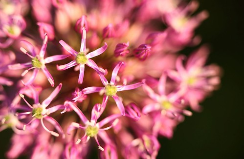 """""""Allium"""" This relative of the onion produces the most wonderful ball of flowers on top of a long stem."""