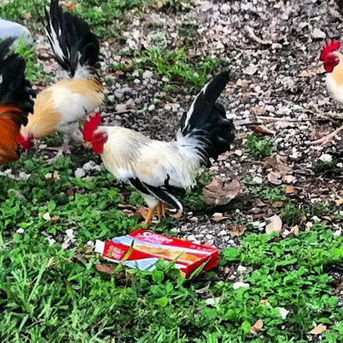 Brickell Metrorail Chicken Gang Terrorizes Urban Miami