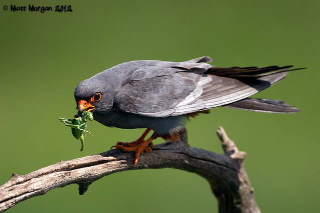Male Red Footed Falcon With Food