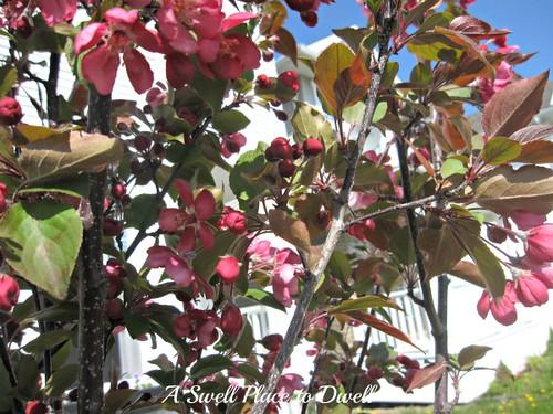 crap apple tree blooms