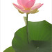 Lotus by Bahman Farzad