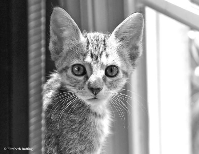 Wednesday, Tabby kitten by Elizabeth Ruffing
