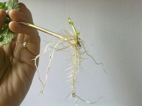 Hierbabuena con raíces