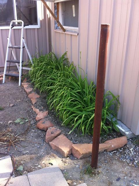 Chicken coop daylilies