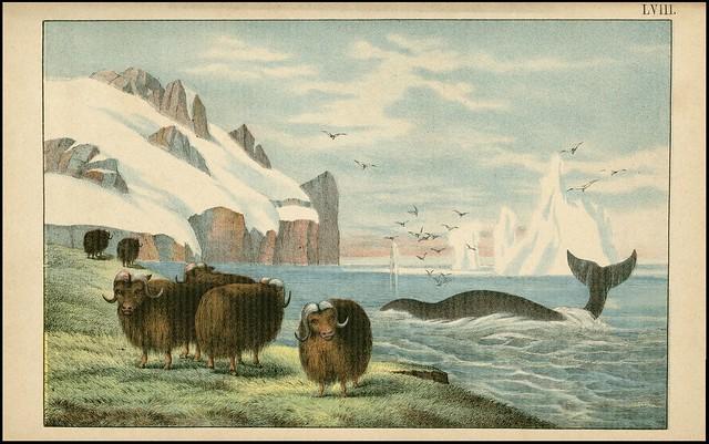 zoological chromolithograph - Le bœuf musqué + La baleine commune