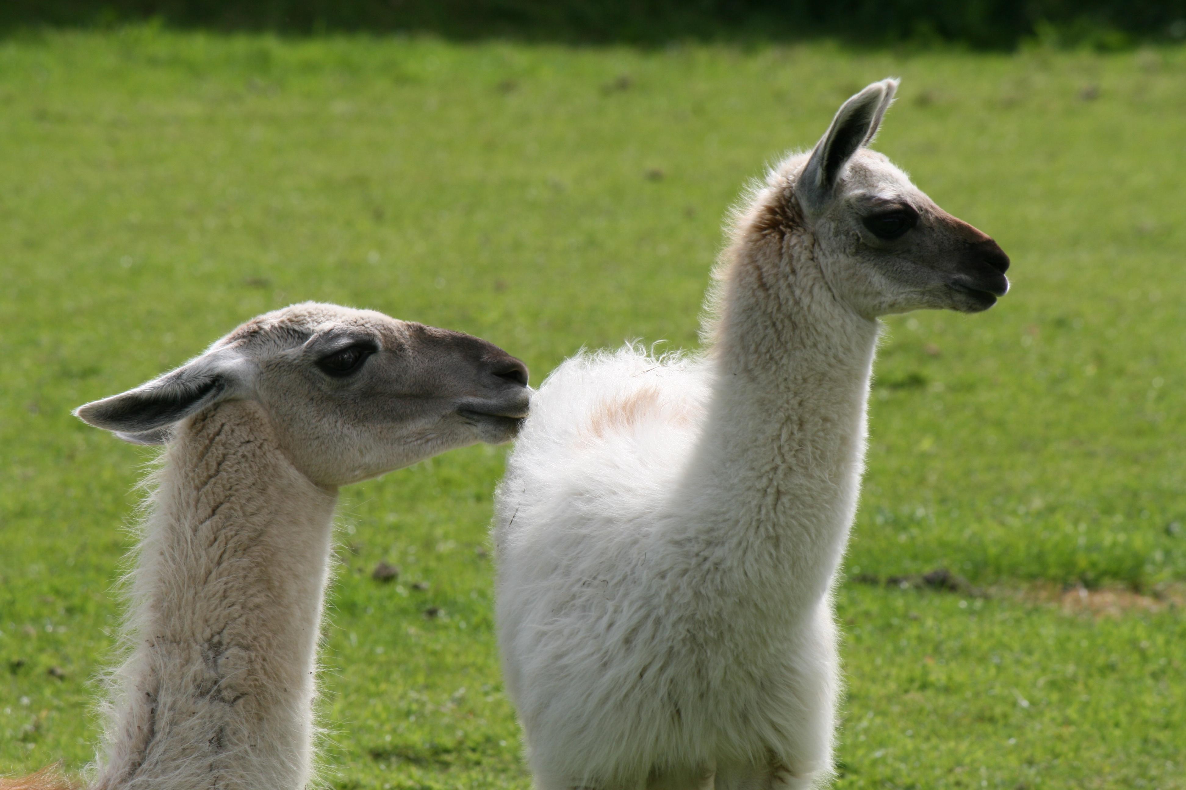 Displaying 17 gt  Images For - Baby Llamas The Animal   Llamas The Animal