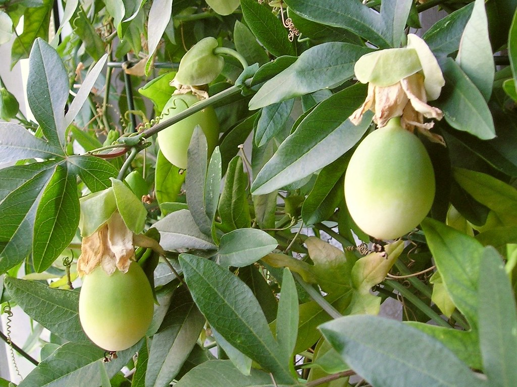 Blaue Passionsblume (Passiflora caerulea) Früchte