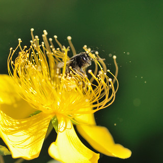 Hypericum and Bee