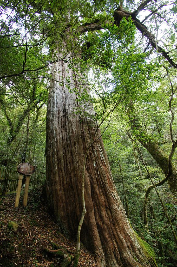巨木群,與往拉拉山的路上-053